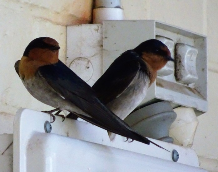 2 Welcome Swallows