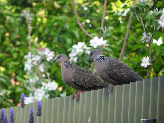 Doves on fence