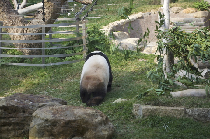Panda turning his back