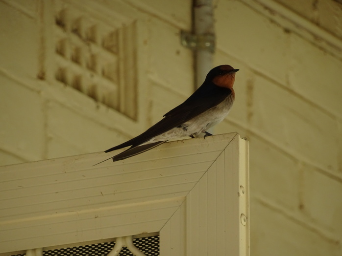Swallow On Top Of Door