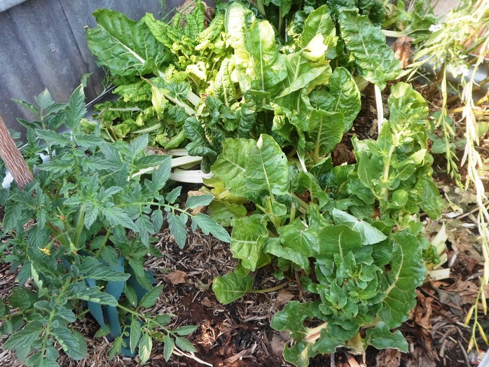 Tomatoes and silverbeet in garden