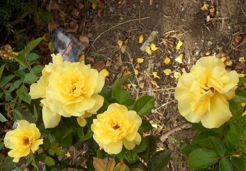 Yellow Roses  - The Influence Of Yellow